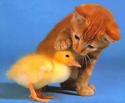 Images humoristiques.... Chaton-canneton-humour-animal